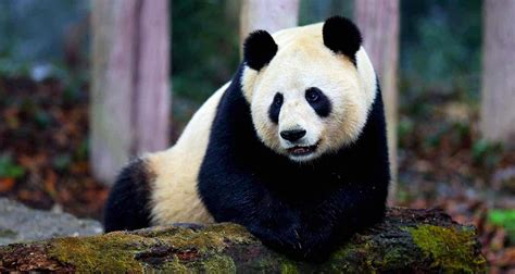 Giant Panda Facts   15 Interesting Facts about Giant Pandas