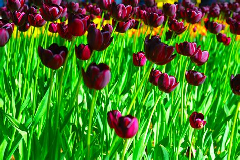 Top 10 tulips to plant for next spring - Country Life