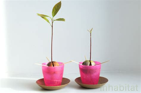 HOW TO: Grow an Avocado Tree from Seed