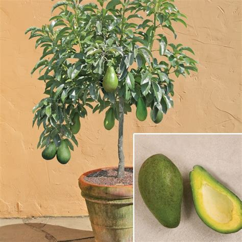 Avocado Trees & Plants for sale at Logee's: Avocado 'Day