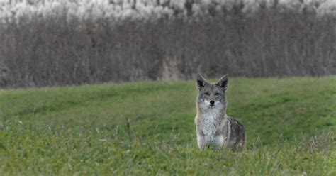 'Urban Coyotes in the Chicago Region' to be focus of FREP