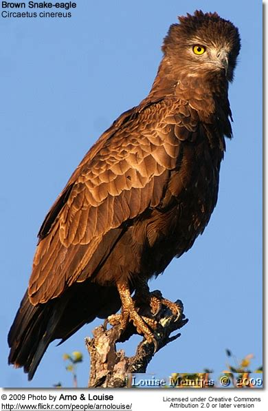 Brown Snake-eagles | Beauty of Birds