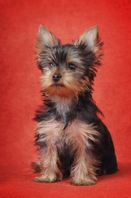 What to Look for in a Teacup Yorkie Terrier   Dog Care
