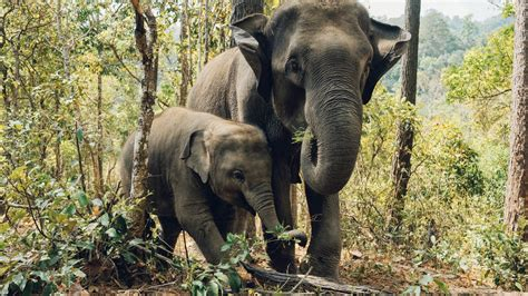 Big And Baby Elephants Are Standing In Forest Background