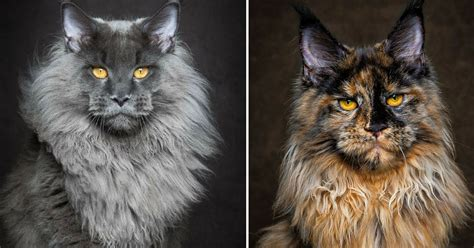 40 Majestic Pictures Of Maine Coon Cats That Are