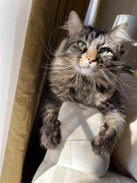 20+ Awesome Maine Coons In Quarantine