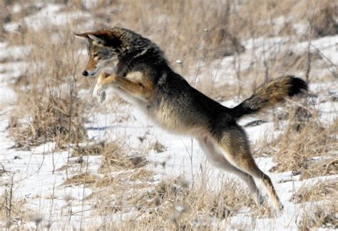 Naperville residents concerned by coyote presence