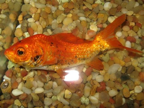 How To Prevent Your Fish From Dying Of Ammonia Poisoning