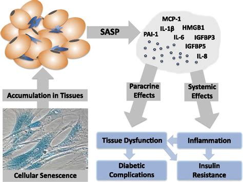 Cellular Senescence in Type 2 Diabetes: A Therapeutic