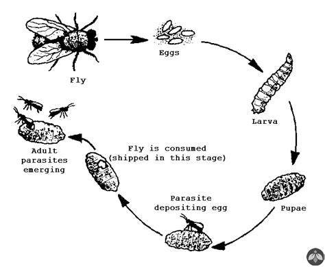 Fly Parasites for Fly Control
