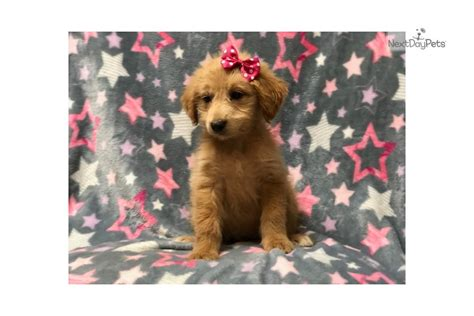Jolly: Aussiedoodle puppy for sale near Lakeland, Florida