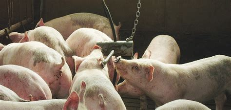 Selling the right pigs at the right time helps maximise